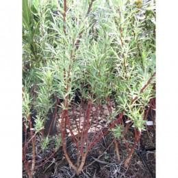 Vrba rozmarýnolistá / Salix rosmarinifolia