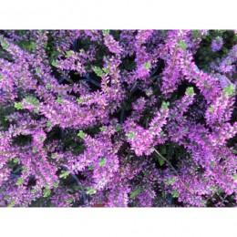 Vřes obecný - Calluna vulgaris v kultivarech