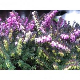 Vřesovec pleťový - Erica carnea v kultivarech