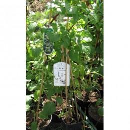 Hortenzie řapíkatá / Hydrangea petiolaris