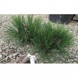 Borovice černá / Pinus nigra ´Brepo´