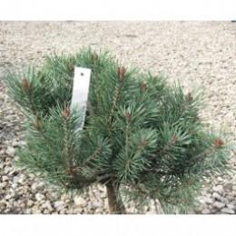 Borovice lesní / Pinus sylvestris ´Beuvronensis´