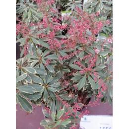 Pieris japonský / Panašovaný / Pieris japonica  - v kultivarech