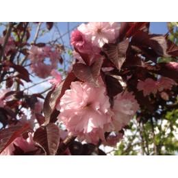 Okrasné jabloně / Malus Royality - červenolisté a červeně kvetoucí