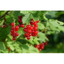 Rybíz červený / kontejnerovaný / KEŘ / Ribes rubrum