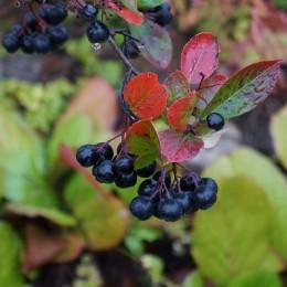 Temnoplodec černoplodý / Aronia melanocarpa