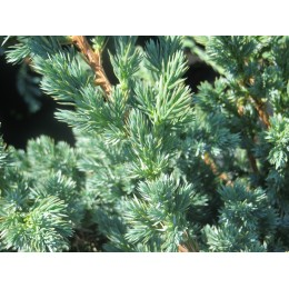 Jalovec obecný / Juniperus communis ´Meyer´
