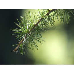 modřín opadavý - Larix decidua