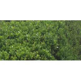 Ptačí zob obecný / Ligustrum vulgare 25-35cm Obalovaná sadba