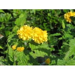 Zákula japonská / Kerria japonica