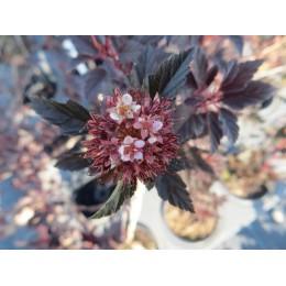 Tavola kalinolistá / Physocarpus opulifolius ´LITTLE DEVIL´