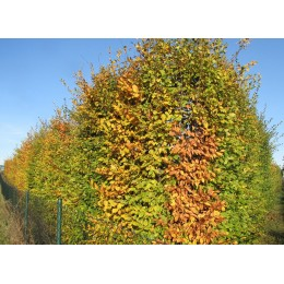 Habr obecný - BAL 200-250cm / Carpinus betulus