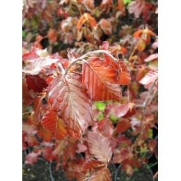 Buk červenolistý / Fagus sylvatica ´Purpurea´