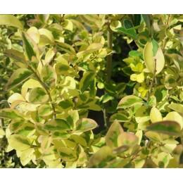 Ptačí zob vejčitolistý / žlutě žíhaný / Ligustrum ovalifolium ´Aureum´