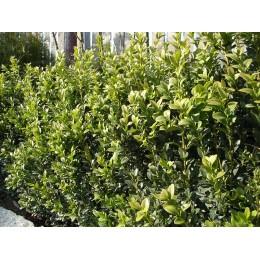 Zimostráz / Buxus sempervirens