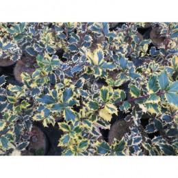 Cesmína ostrolistá / panašovaná / Ilex aquifolium ´Argentea Marginata´