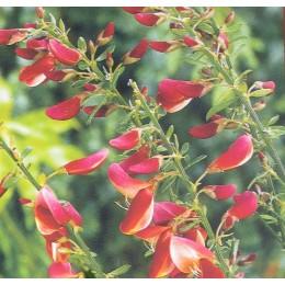 Janovec metlatý v kultivarech / Cytisus Scoparius