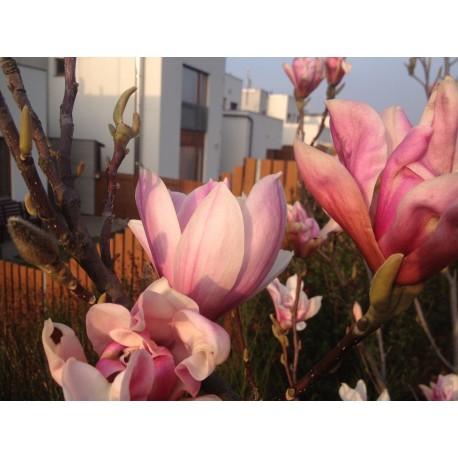 Magnolie / Magnolia - různé druhy