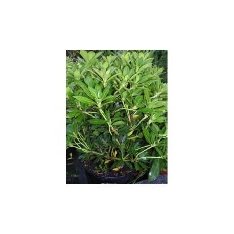Pieris japonský / Pieris japonica - v kultivarech