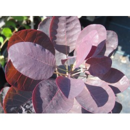 Ruj vlasatá / Cotinus coggygria 'Royal Purple'