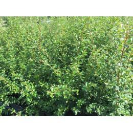 Skalník vrbolistý / Cotoneaster salicifolius ´Parkteppich´