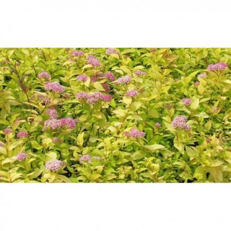 Tavolník japonský / Spiraea japonica ´Golden Princess´