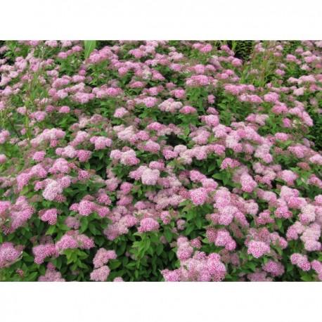 Tavolník japonský / Spiraea japonica ´Little Princess´