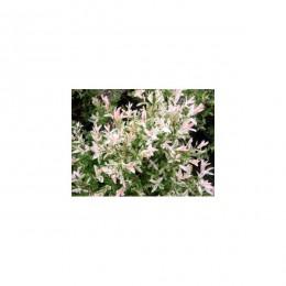 Vrba prostřední / Tříbarevná / Salix integra kultivar Hakuro Nishiki