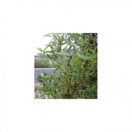Vrba Matsudova / Salix matsudana kult. ´Tortuosa´