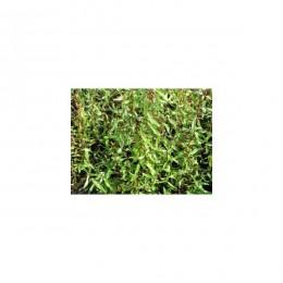 Vrba kroucená / Salix erythroflexuosa