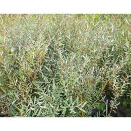 Vrba nachová / Salix purpurea Gracilis