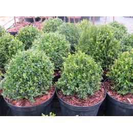Zimostráz obecný / koule 35cm / Buxus sempervirens