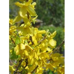 Zlatice prostřední / Forsythia intermedia
