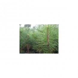 Borovice černá / Pinus nigra