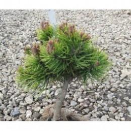 Borovice kleč / Pinus mugo ´Ophir´