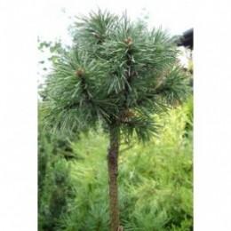 Borovice kleč / Pinus mugo ´Mops´