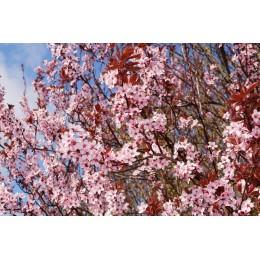 Myrobalán červenolistý - Prunus cerasifera ´Nigra´KM 100cm