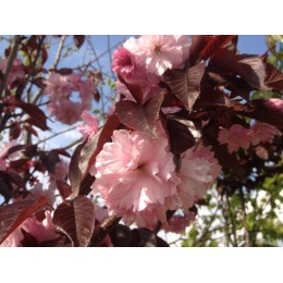 Okrasné jabloně / Malus Royalty - červenolisté a červeně kvetoucí