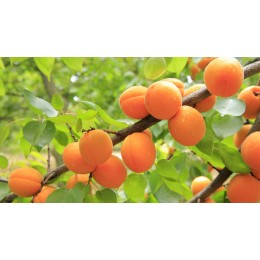 Meruňka - prostokořenné