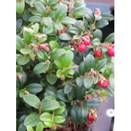 Brusinka obecná - Vaccinium vitis idaea
