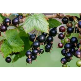 Rybíz černý / kontejnerovaný / KEŘ / Ribes nigrum
