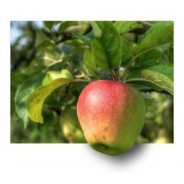 Jabloně - prostokořenné
