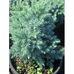 Jalovec šupinatý / Juniperus squamata ´Blue Star´