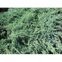 Jalovec šupinatý / Juniperus squamata ´Blue Carpet´