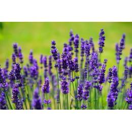 Levandule / Lavandula - různé druhy a barvy