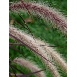 Vousatec, dochan psárkovitý / Pennisetum alopecuroides