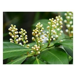 Bobkovišeň lékařská / Prunus laurocerasus
