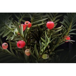 Tis / Taxus baccata