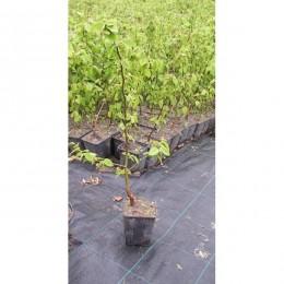 Habr obecný / Carpinus betulus / do 30cm - Kontejnerované