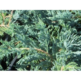 Jalovec polehavý / Juniperus horizontalis ´Blue Moon´